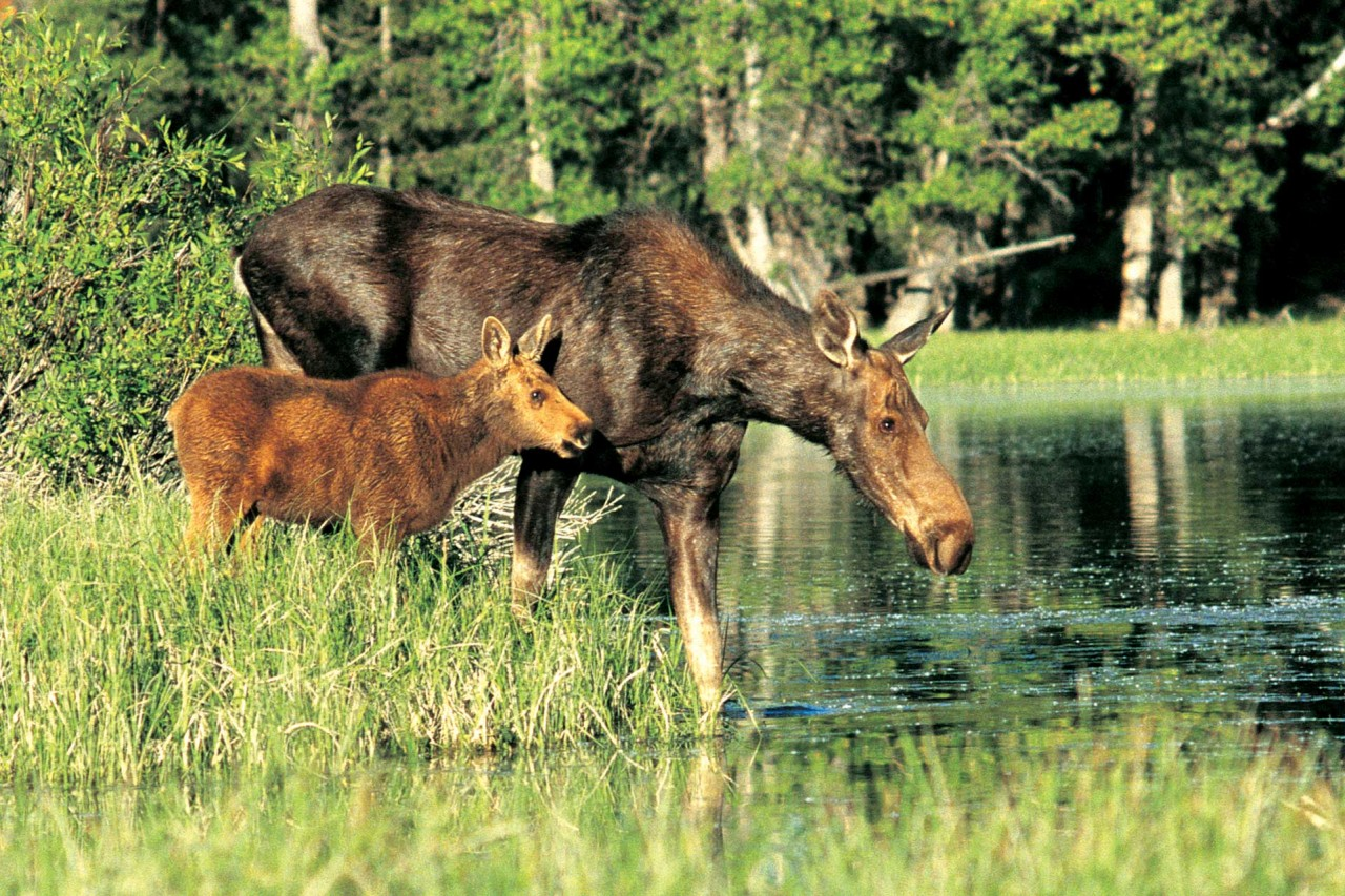 how to call out a moose