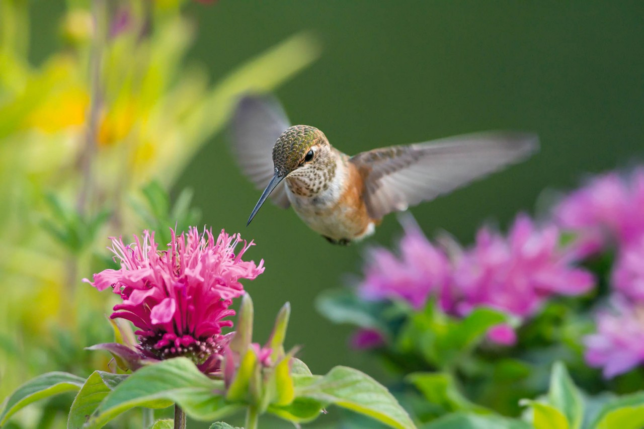 Images Of Nature Mangelsen Mangelsen Humming Bird